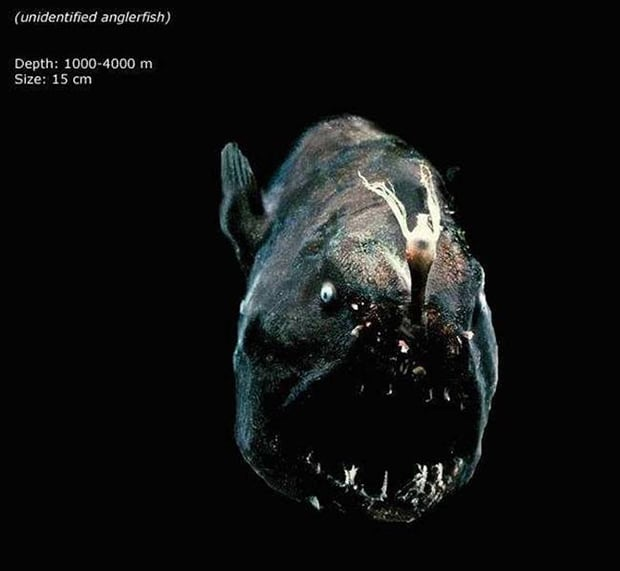Unidentified Anglerfish. This is the thing that nightmares are made out of!