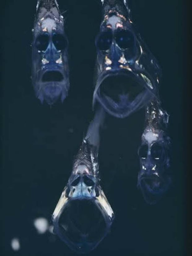 Hatchetfish. They have a very ghostly appearance to them.
