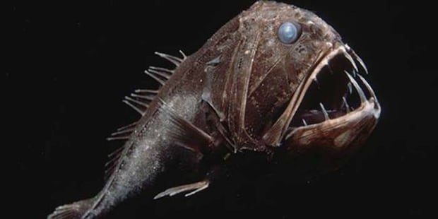 Fangtooth fish. The size of his teeth is incredible!
