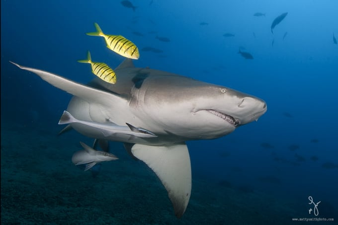 A sickle fin lemon shark beautifully accented by two juvenile golden trevallies