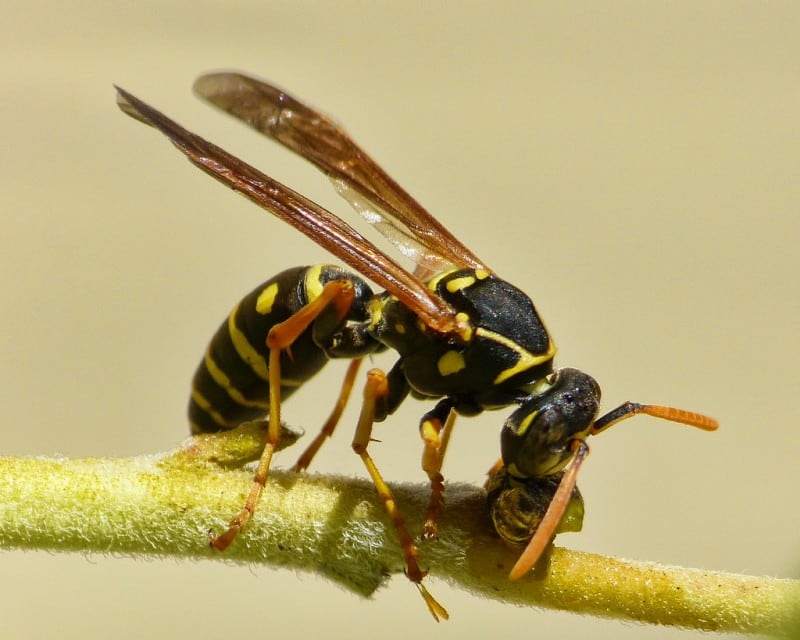 Wasp by Sid Mosdell via Flickr