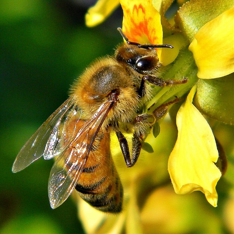 Bees vs. Hornets vs. Wasps: What's the Difference? -summer, nature, flower, bee