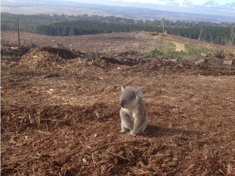 deforesteration effect on animals