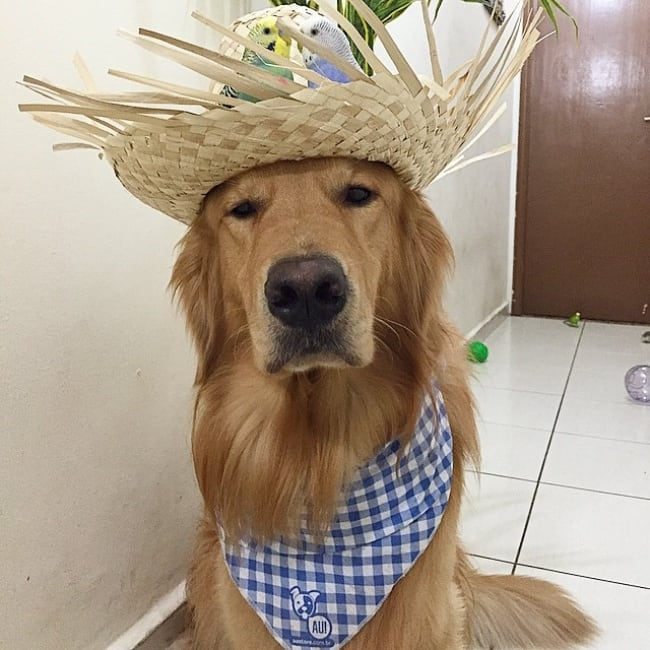 18136610-R3L8T8D-650-bob-golden-retriever-sao-paulo-541