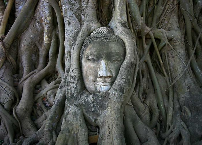 stunning photo of a buddha surrounded with the root of a tree