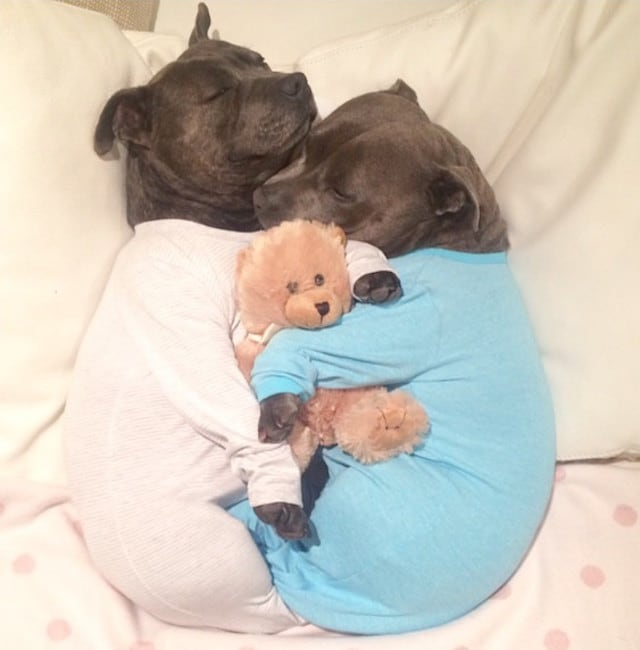 Bull-Terriers-Cuddle-Filled-Pajama-Parties-1