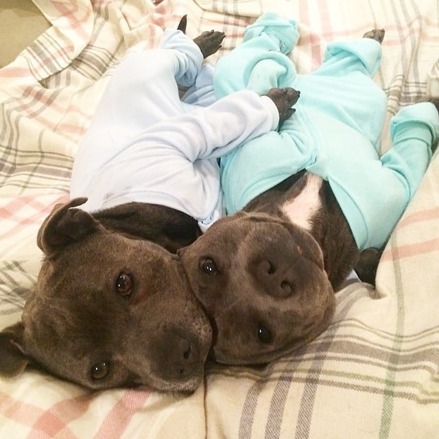 Bull-Terriers-Cuddle-Filled-Pajama-Parties-8