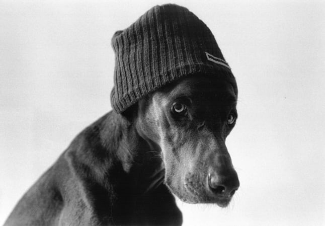 Image via Weimaraner Black & White Photographs