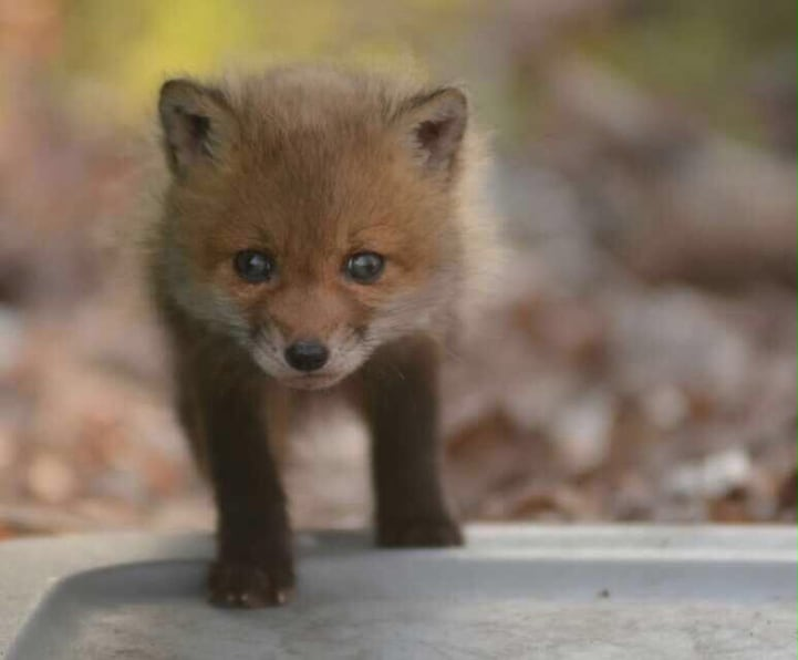 Father and Daughter Found Charming Baby Foxes in Their Garden -cute
