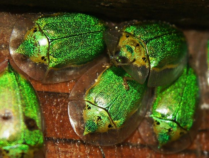 Unknown Tortoise Beetles from Nicaragua