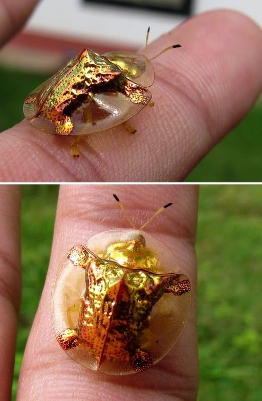 Golden Tortoise Beetle Crawling on a Person's FInger