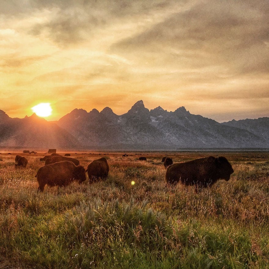 buffalo_sunset_at_grand_tetons