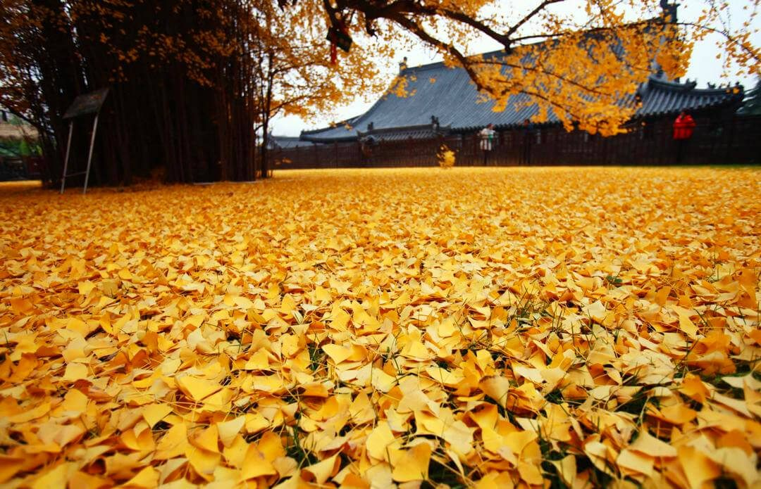 chinese-ginkgo-tree-freeyork-2