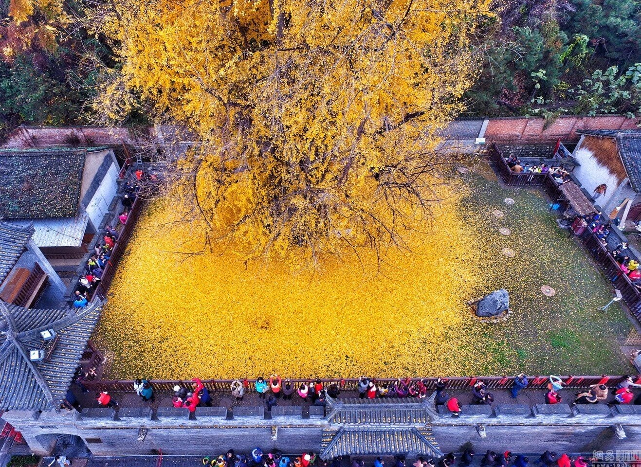 chinese-ginkgo-tree-freeyork-3