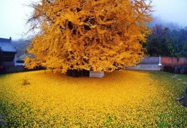chinese-ginkgo-tree-freeyork-4