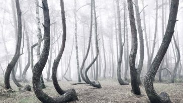 Poland's Mystical Crooked Forest of Oddly Bent 400 Bent Pine Trees -poland, nature photography, nature, landscape photography, landscape, forest