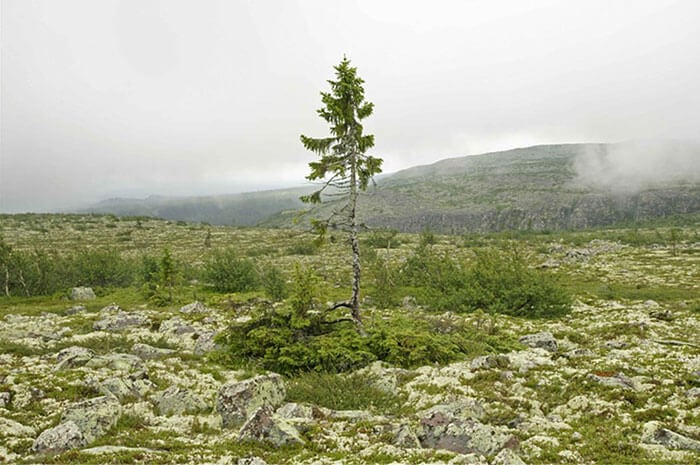 oldest-tree-9500-year-old-tjikko-sweden-fy-5