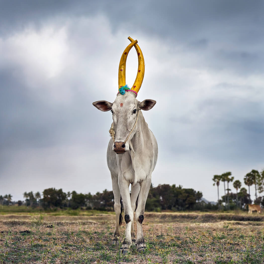 Photographer Documents A Celebration Of The Sacred Cattle -India