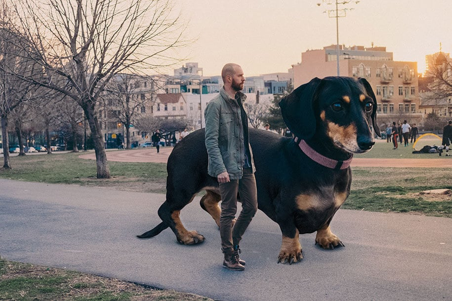 Photographer Photoshops Wiener Dog As Big As She Thinks She Is -Photoshop, dogs, dog