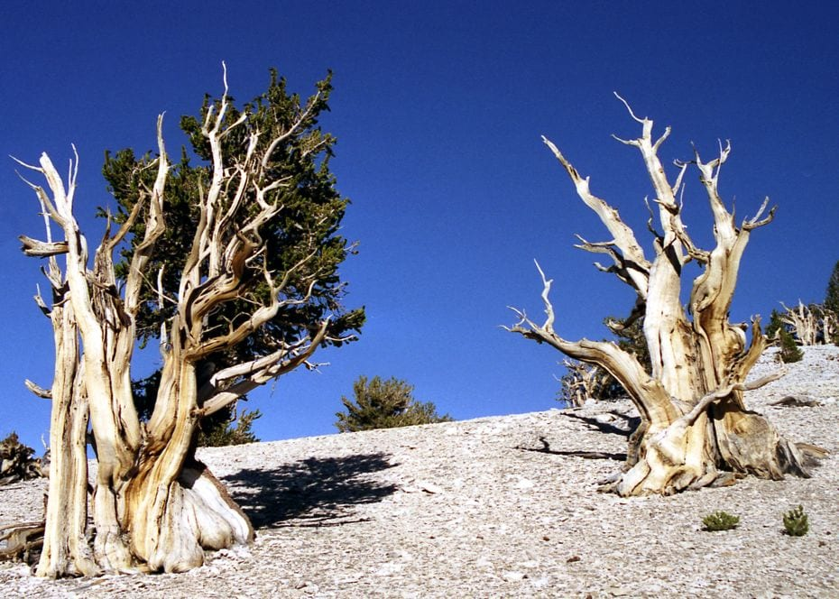 The Oldest Tree On The Planet, and It Calls California Home -tree, california