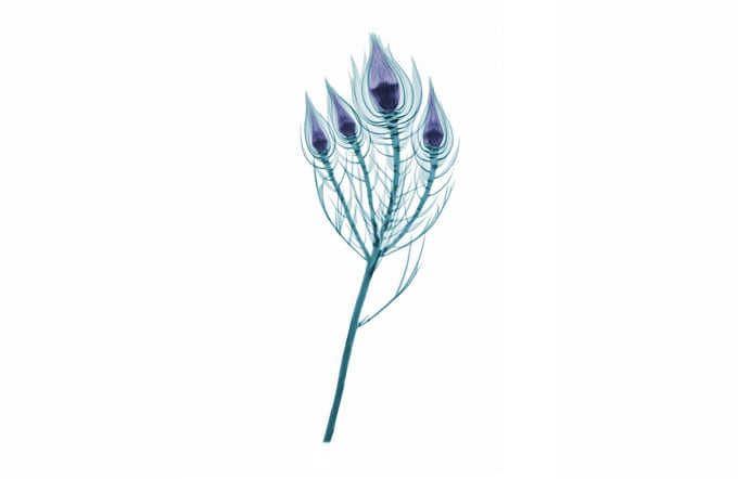Floral X-rays by Brendan Fitzpatrick -flowers