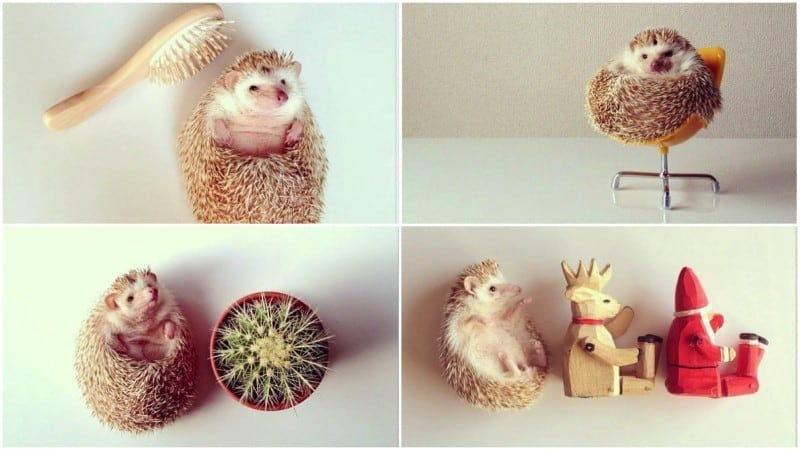Darcy: The Cutest Hedgehog In The World -Instagram