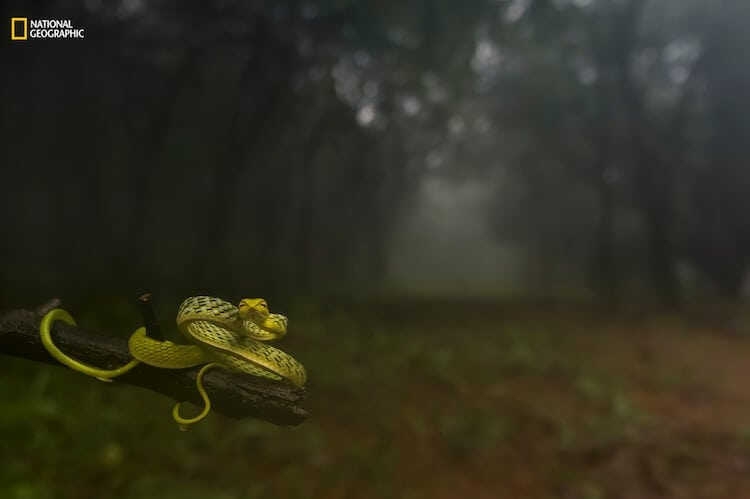 Varun Aditya/2016 National Geographic Nature Photographer of the Year. Dragging you deep into the woods! 1st Place—Animal Portraits: I shot this at Amboli, Maharashtra, India, on July 24, 2016, during a morning stroll into the blissful rain forest. Ceaseless drizzles dampened the woods for 10 hours a day; the serene gloom kept me guessing if it was night or day. The heavy fog, chilling breeze, and perennial silence could calm roaring sprits. And there I saw this beauty. I wondered if I needed more reasons to capture the habitat, for I was blessed to see this at the place I was at. I immediately switched from the macro to the wide-angle lens and composed this frame.