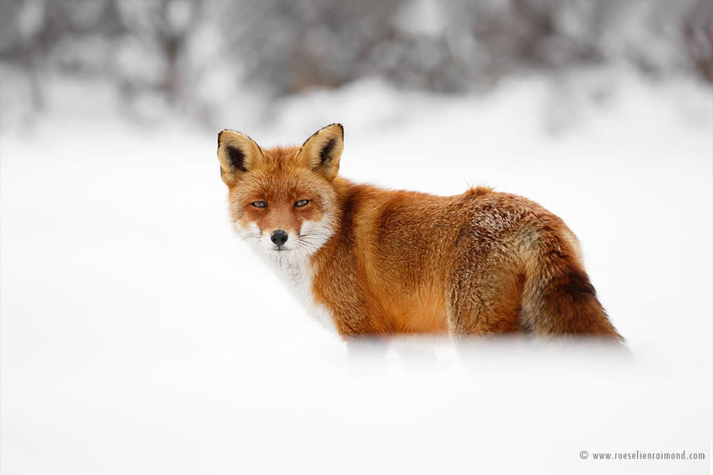 The Beauty of Wild Red Foxes Photographed In The Winter Snow -snow, gohome, fox, animals