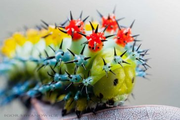 Astonishing Photos of Caterpillars By Igor Siwanowicz That Will Surprise You -nature, insects