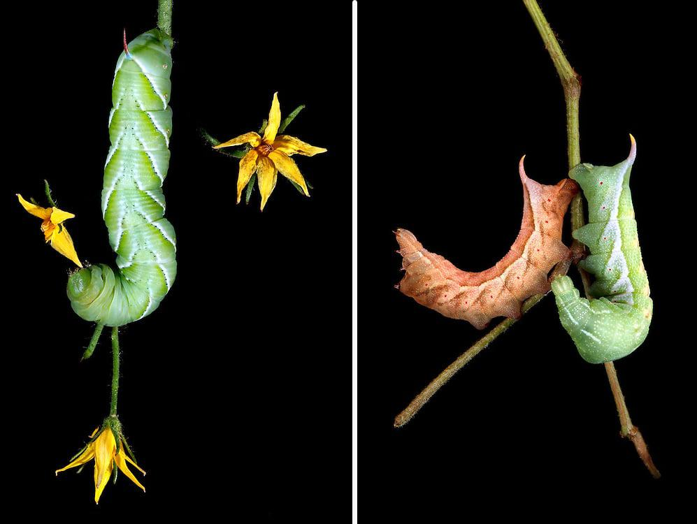 Left: Tobacco Hornworm eating Tomato plant flower | Right: Darapsa myron on Grapevine