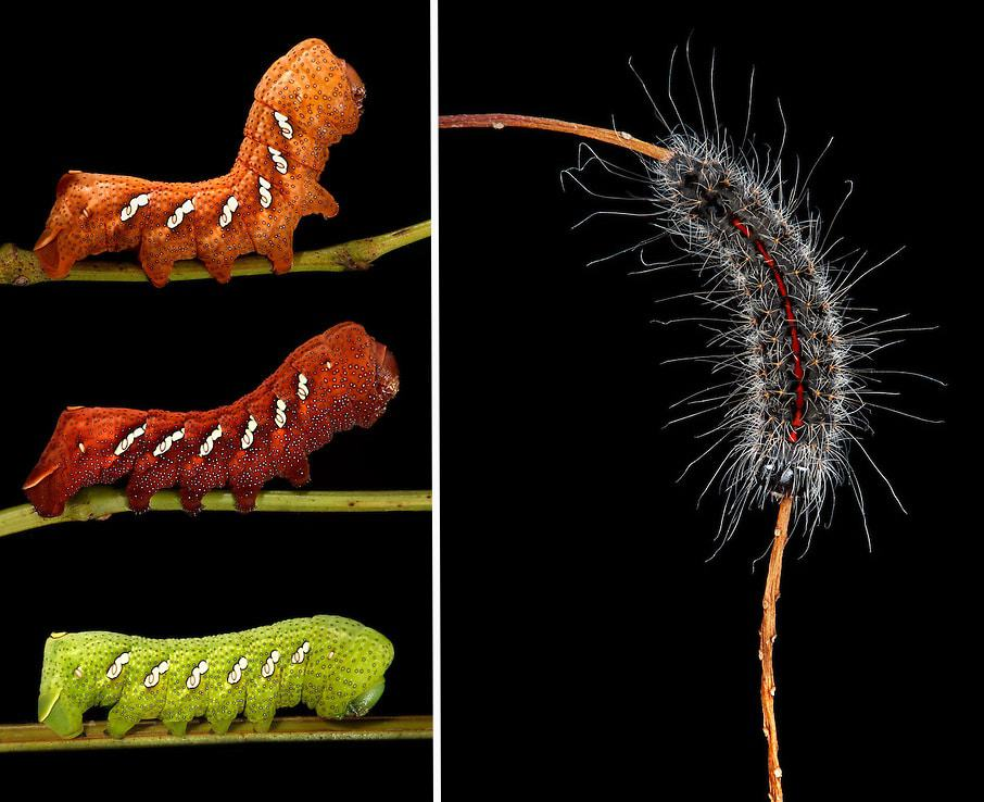 "Left: ""Orange Red Green"" – Eumorpha achemon on Grapevine 
