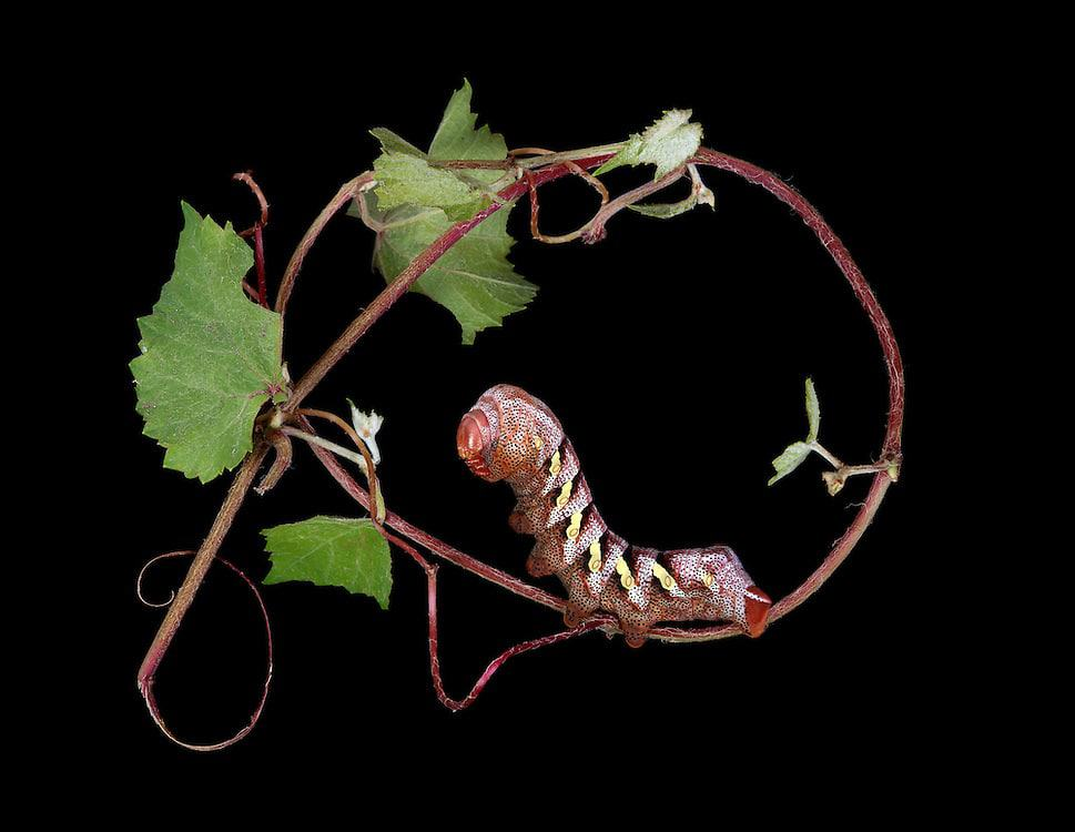 """Father of Monsters"" – Eumorpha typhon on Arizona Grape"