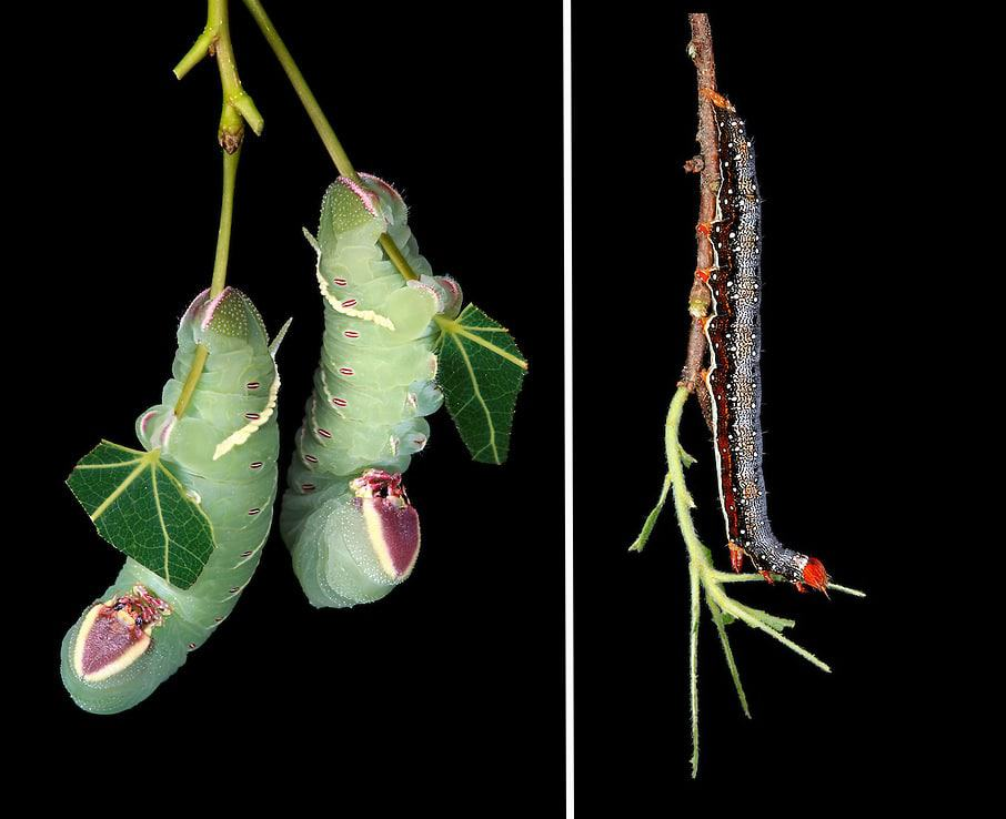 Left: Big Poplar Sphinx hanging on Poplar leaves | Right: Little Wife Underwing on Bayberry